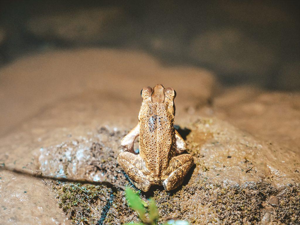 żaby kostaryka