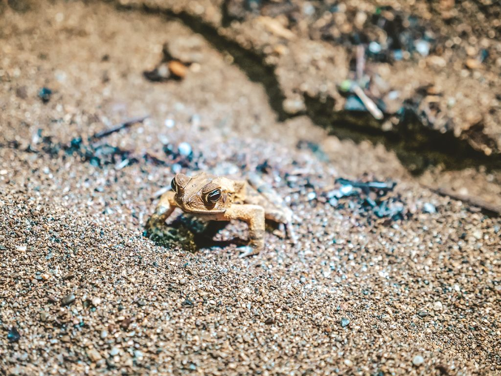 jadowite żaby kostaryka