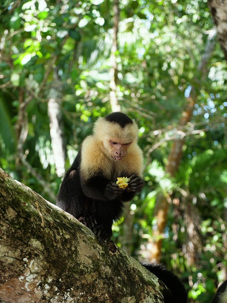 kostaryka gdzie zobaczyć małpy