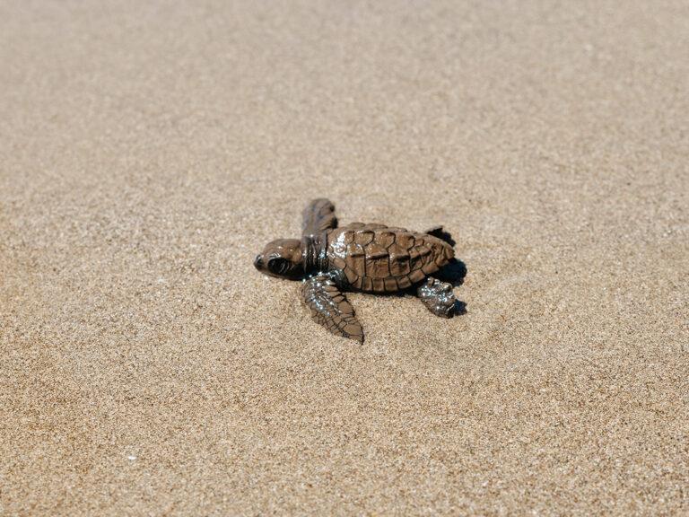 kostaryka żółwie na plażach gdzie
