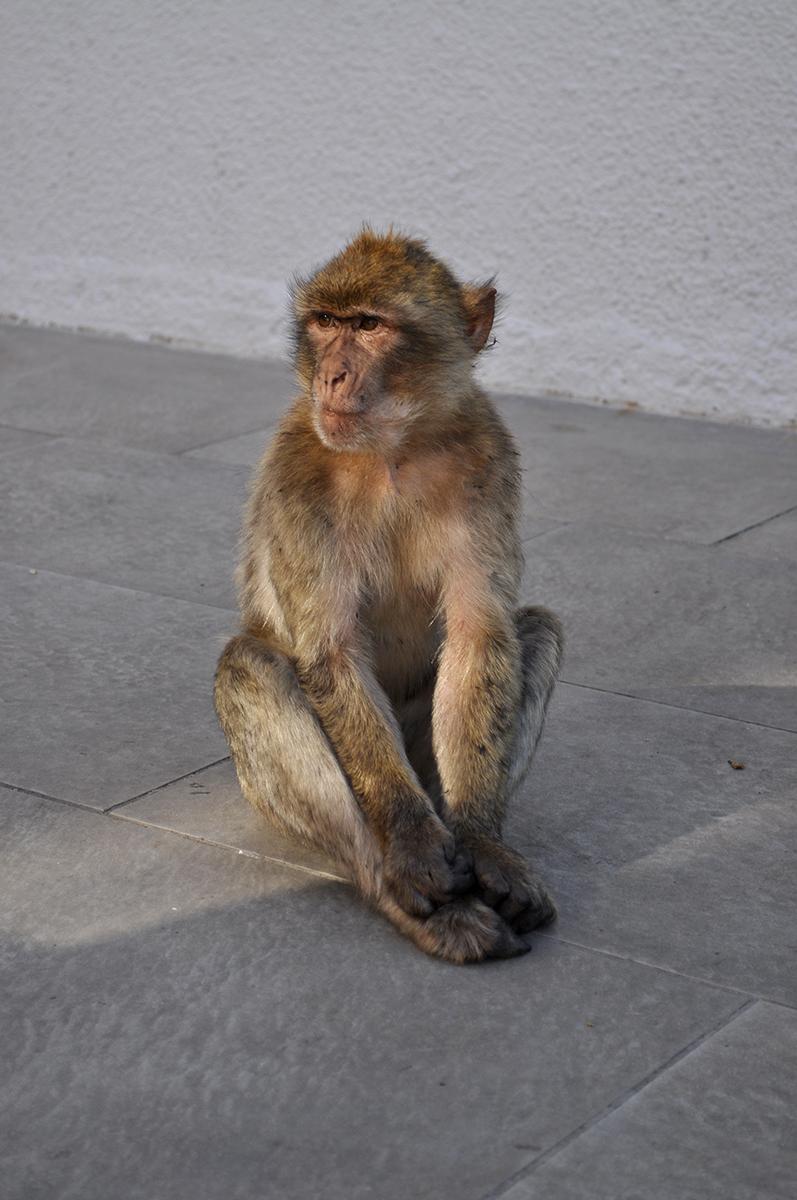 małpy na skale gibraltarskiej