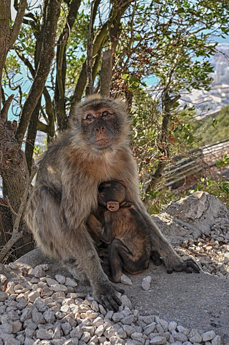 małpy skała gibraltarska
