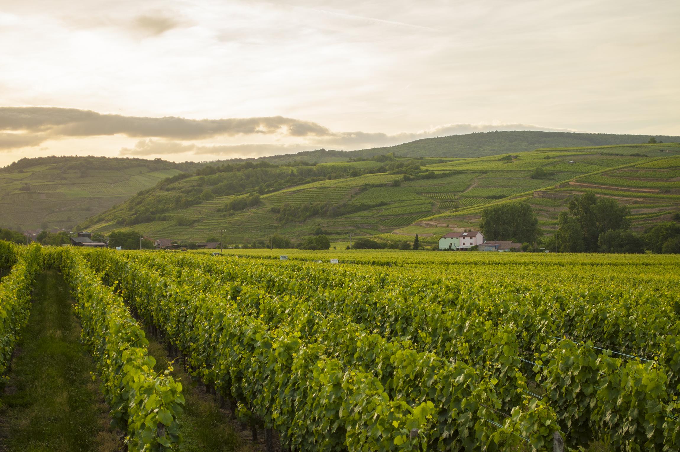 degustacja win eguisheim